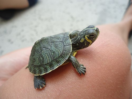 consolatory tiny turtle